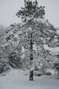 An island tree after a recent snowfall. Photo copyright Nathaniel Hammond