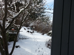 Wild turkeys pay a  visit to a Maine island in winter.